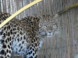 Leopardin Cleo  (9)