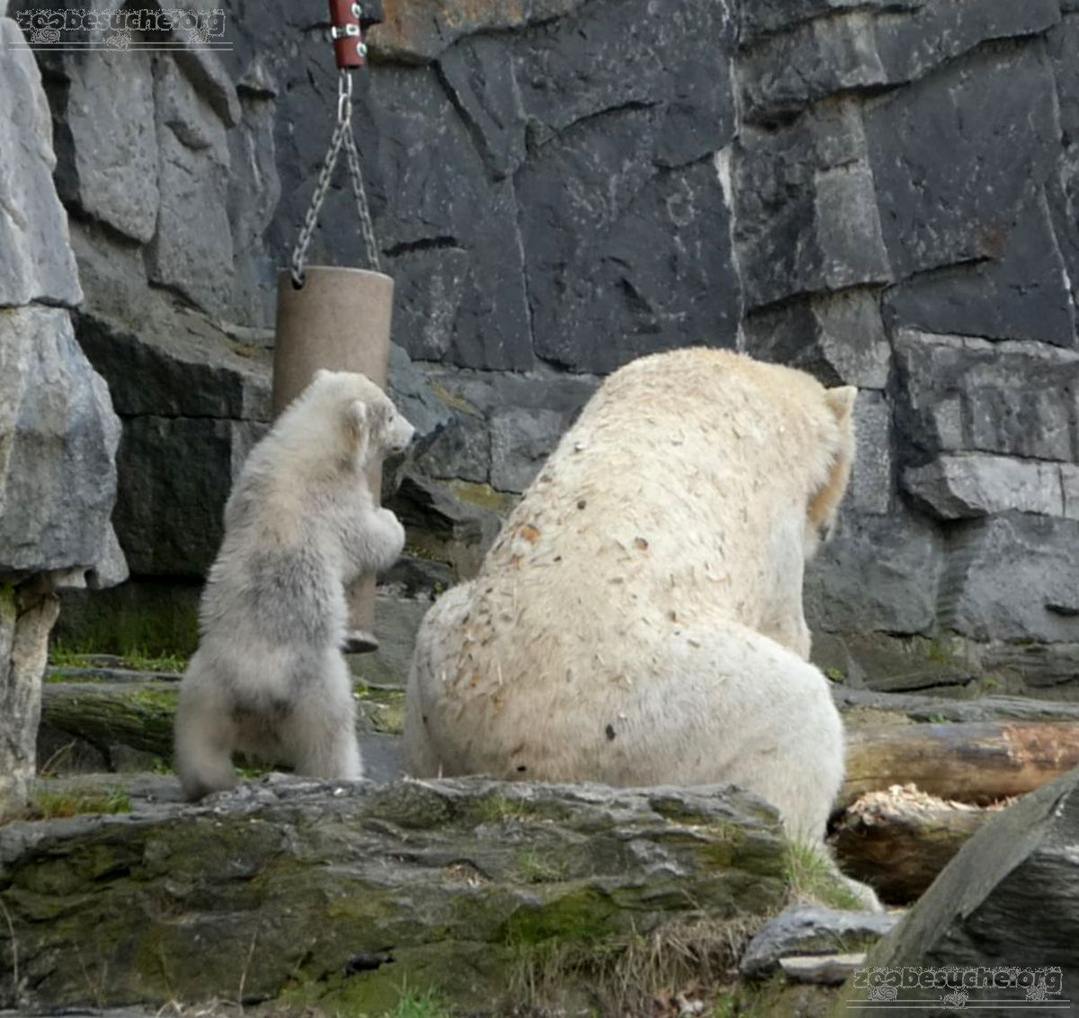 Eisbär  (12)