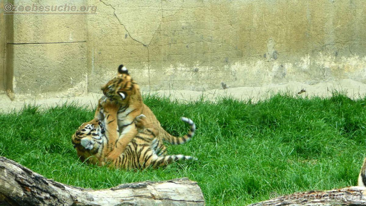 Tiger Jungtiere  (7)