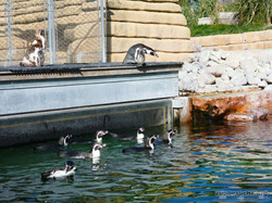 Humbold Pinguine  (1)