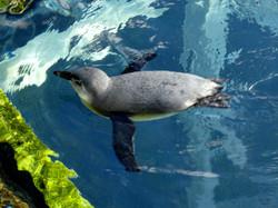 Pinguin  (6)