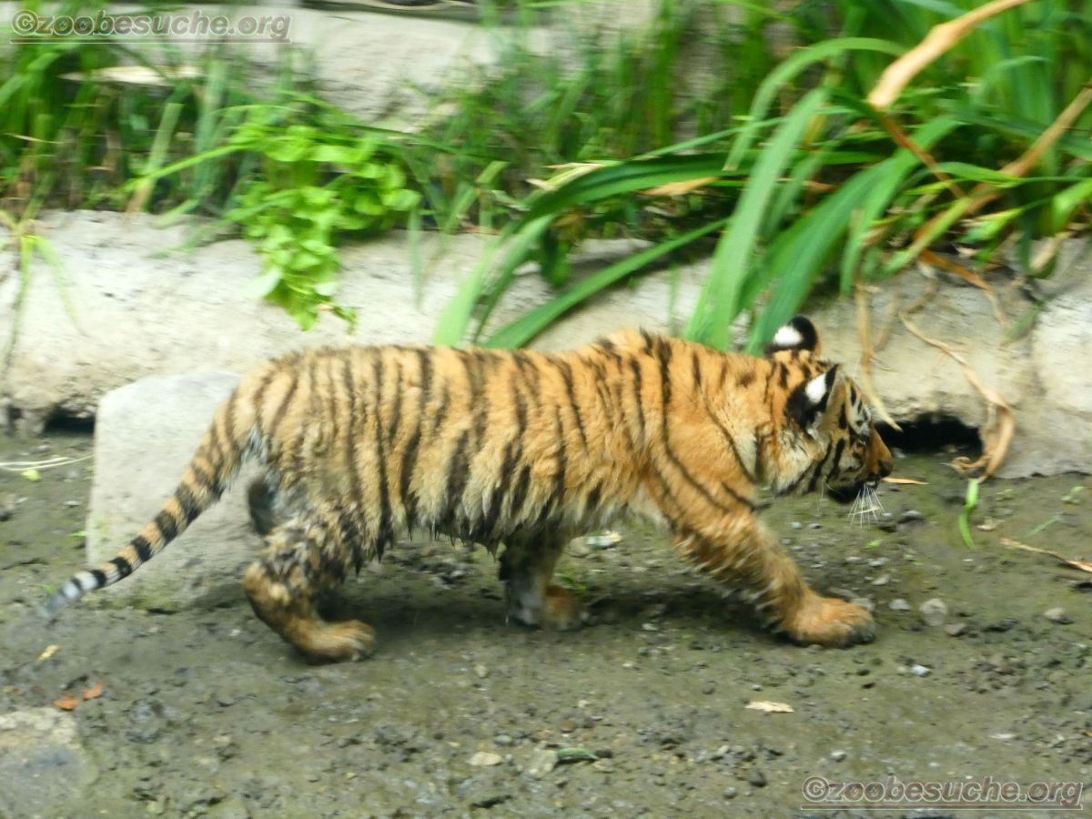 Tiger Jungtiere  (36)