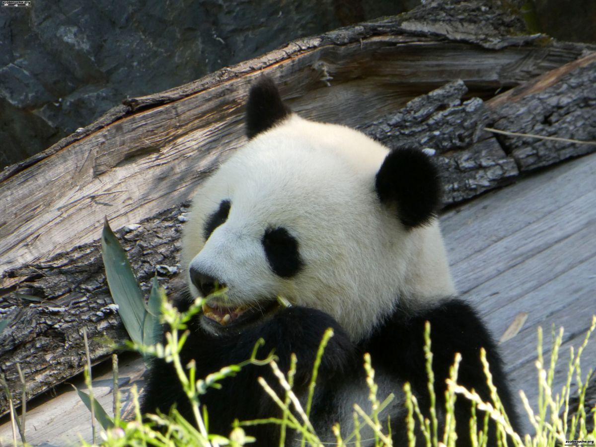 Panda  (234)