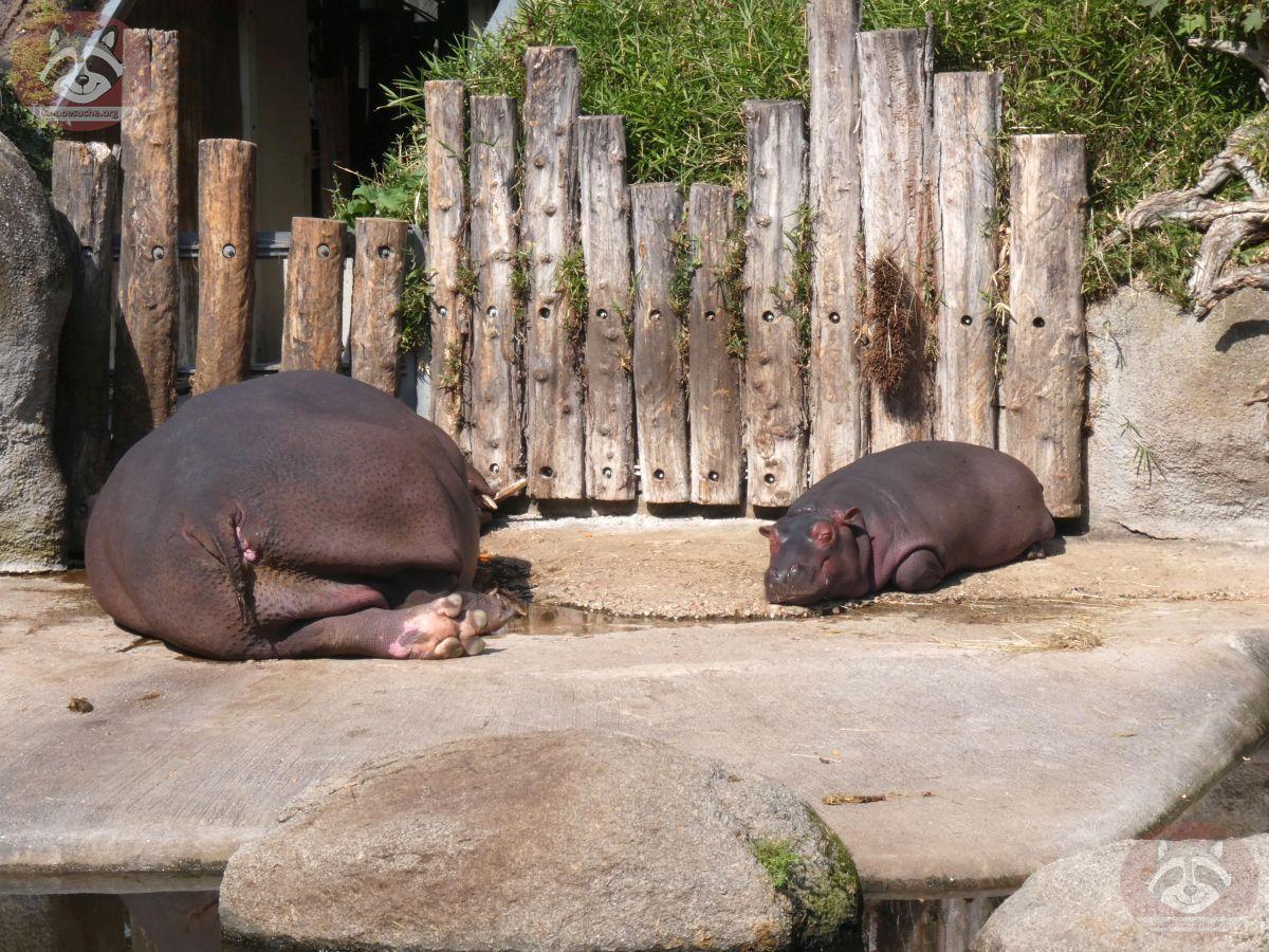 Flusspferde (1)
