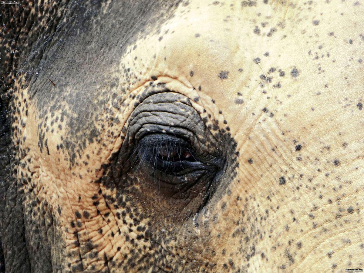 Elefantenbulle Nikolai  (4)