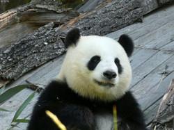 Panda  (215)