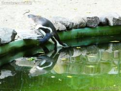 Humbolt Pinguine  (6)
