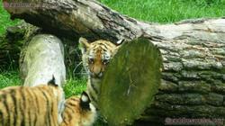 Tiger Jungtiere  (9)