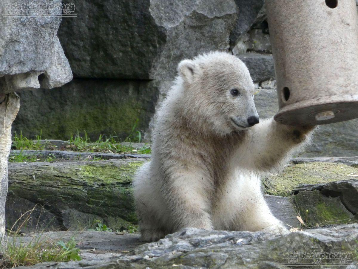 Eisbär  (30)
