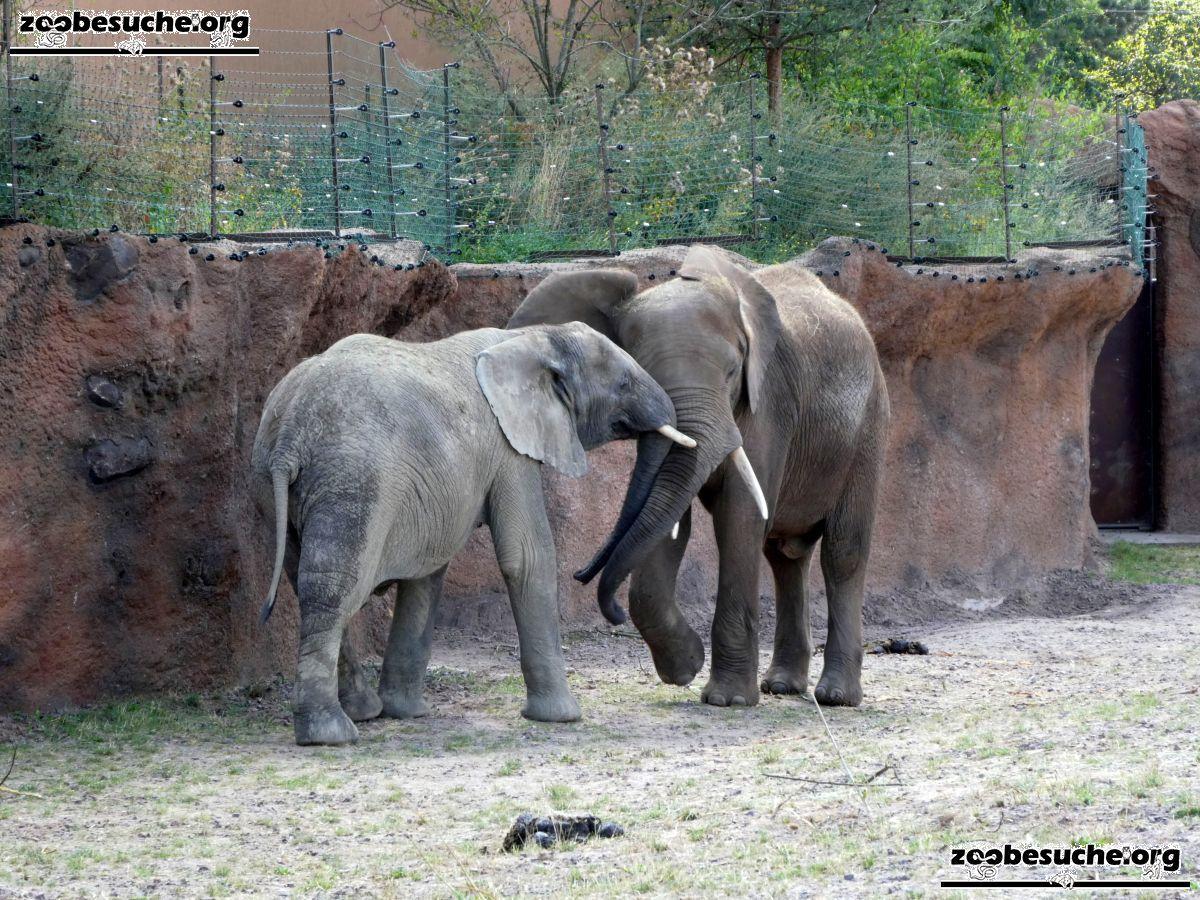 Afrikanische Elefanten  (3)