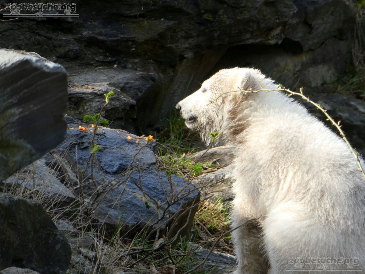 Eisbär  (100)