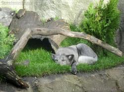 Polarfüchse  (3)