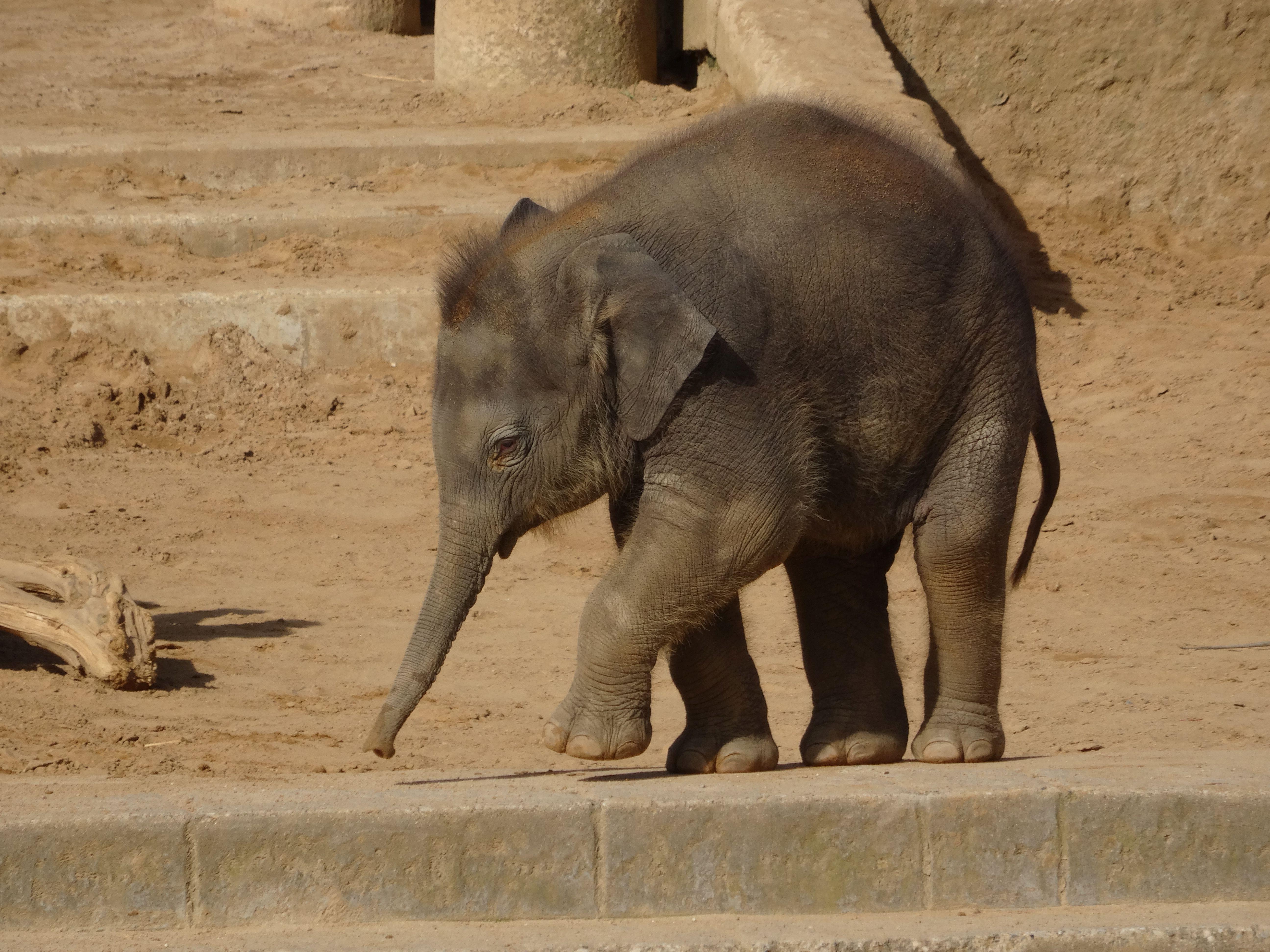 Elefant  (5)