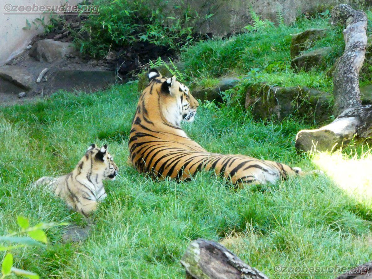 Tiger Jungtier (17)