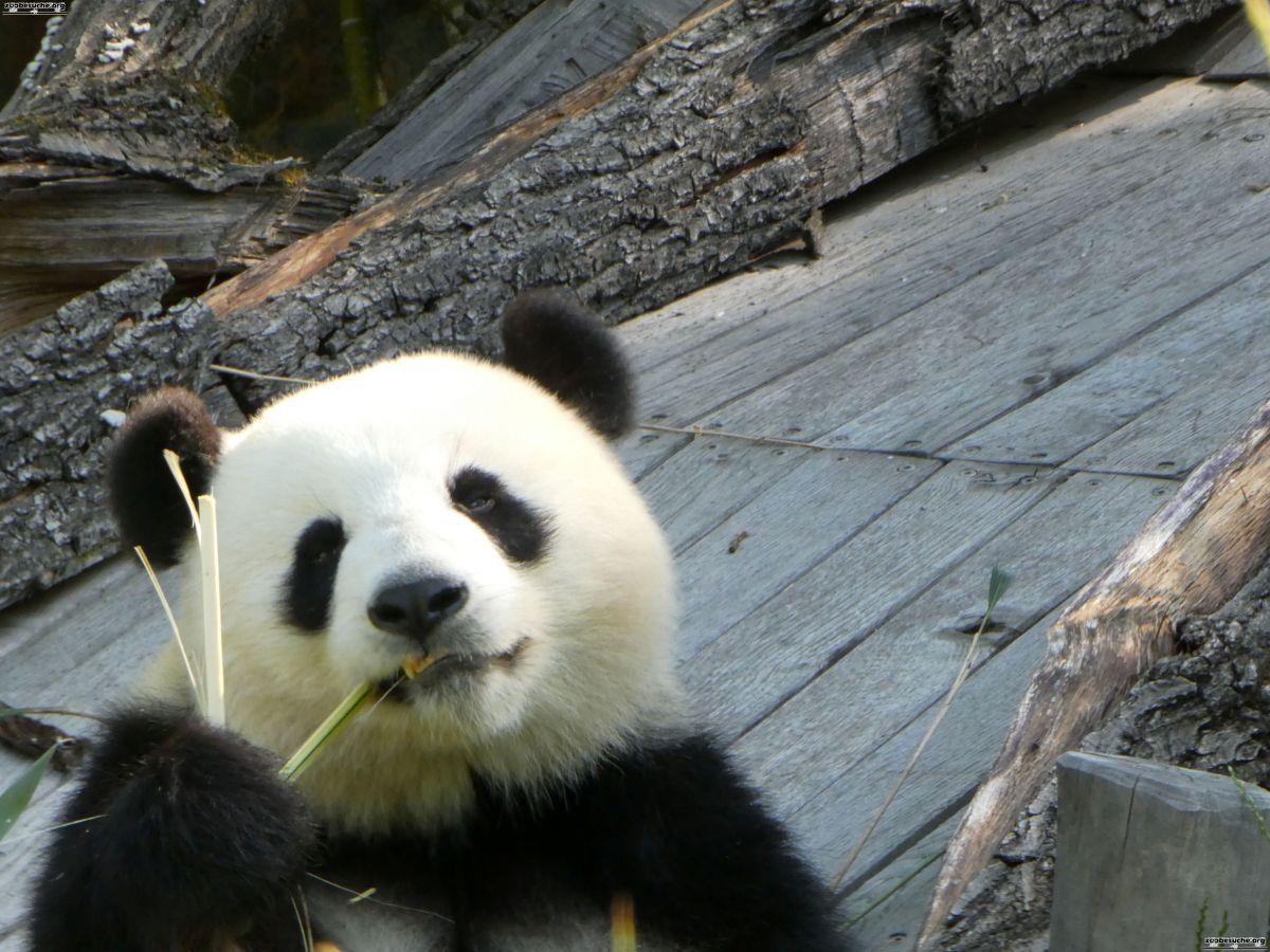 Panda  (83)