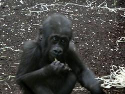 Gorilla Jungtier Tara