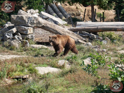 Braunbär (1)