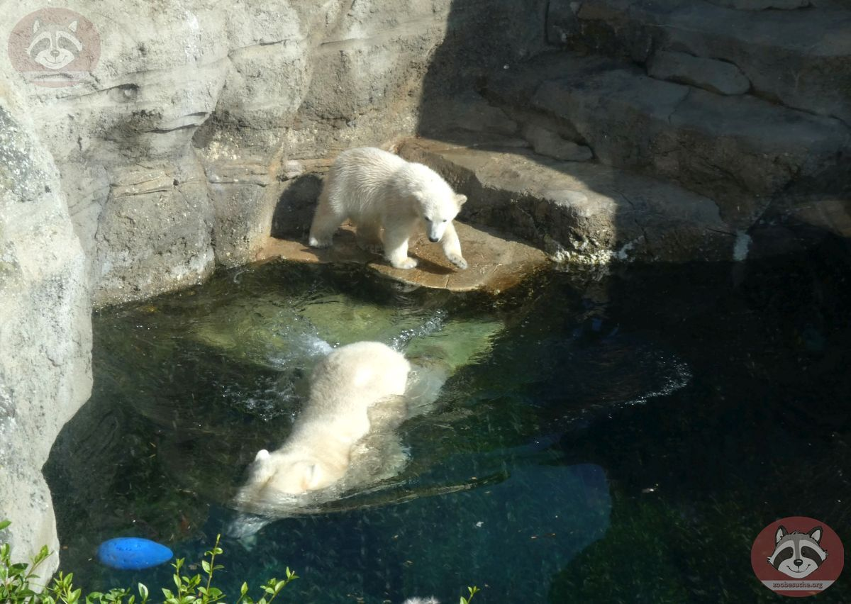 Eisbären  (13)