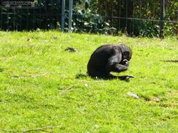 Gorilla Anandi Purzelbaum  (1)