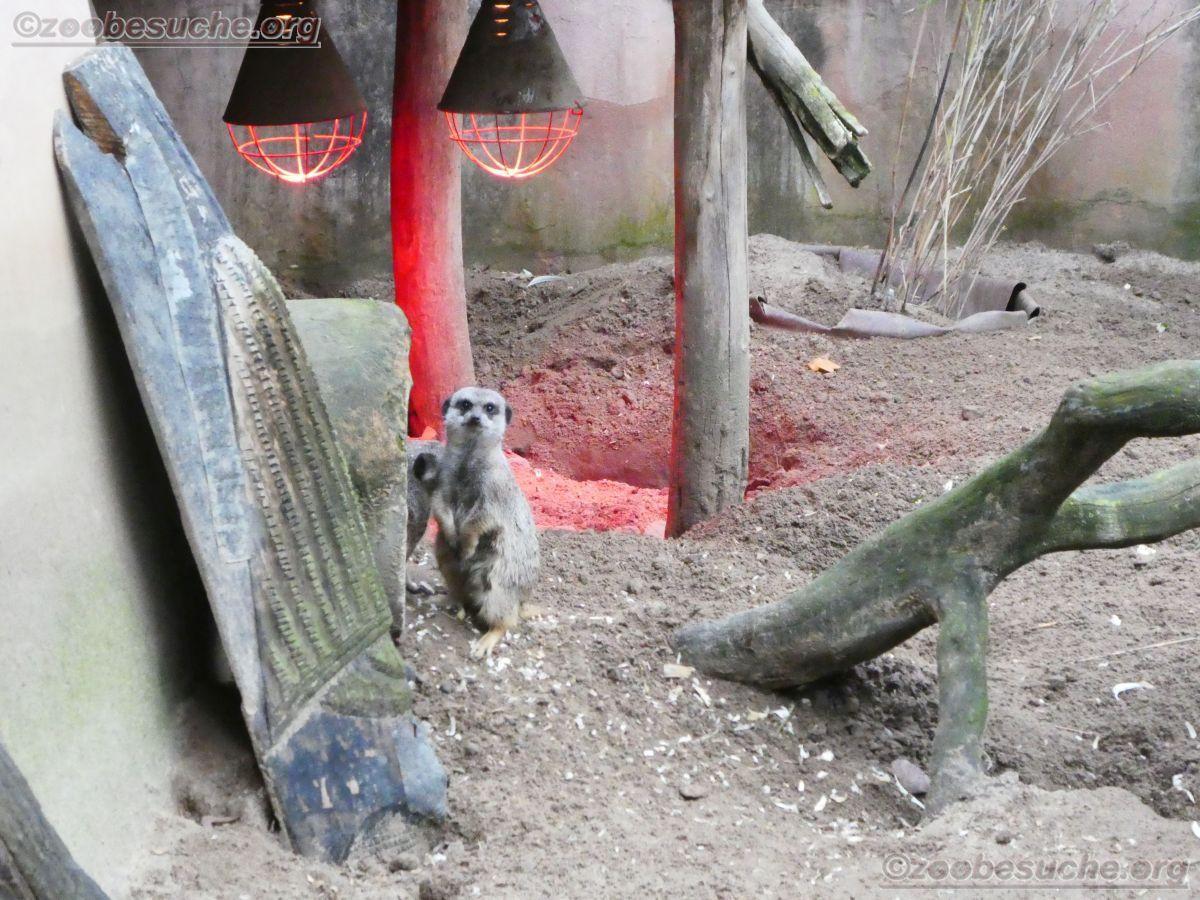 Erdmännchen  (2)