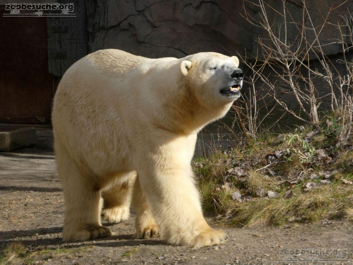 Eisbären  (5)