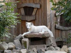 Polarfuchs  (1)