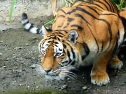 Tigerin Alexa  (7)