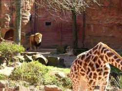 Basu mit Giraffe  (2)