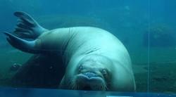 Pazifisches Walross  (9)