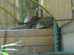 Leopard Julius  (23)