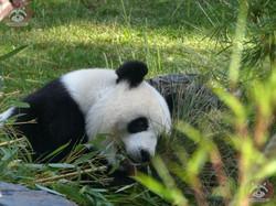 Panda Meng Meng  (6)