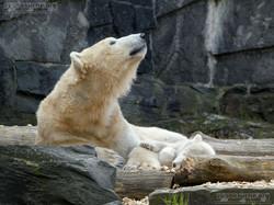 Eisbär  (87)