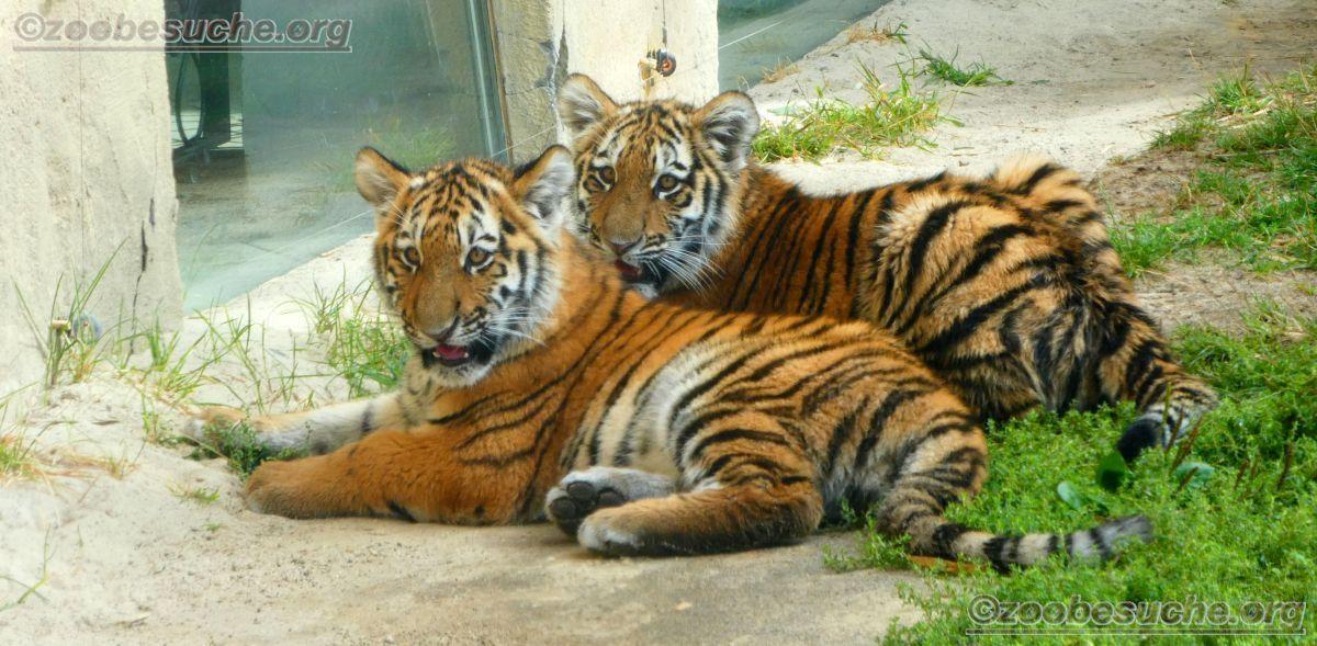 Tigerjungtiere  (12)