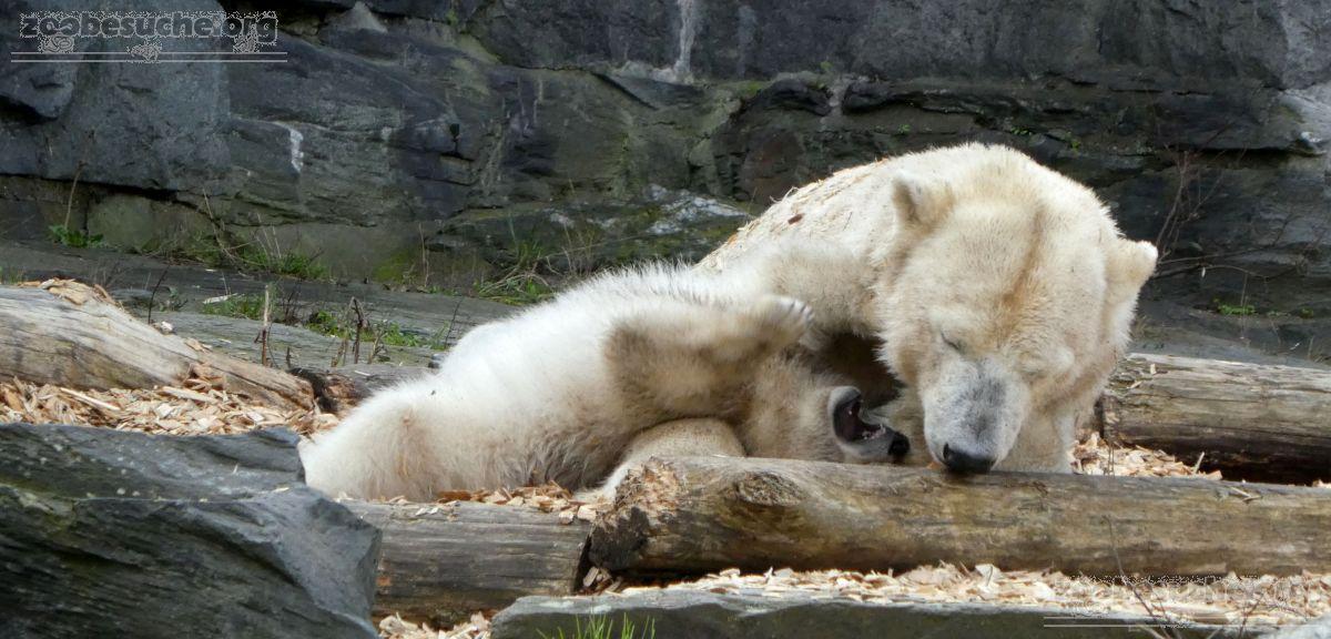 Eisbär  (49)