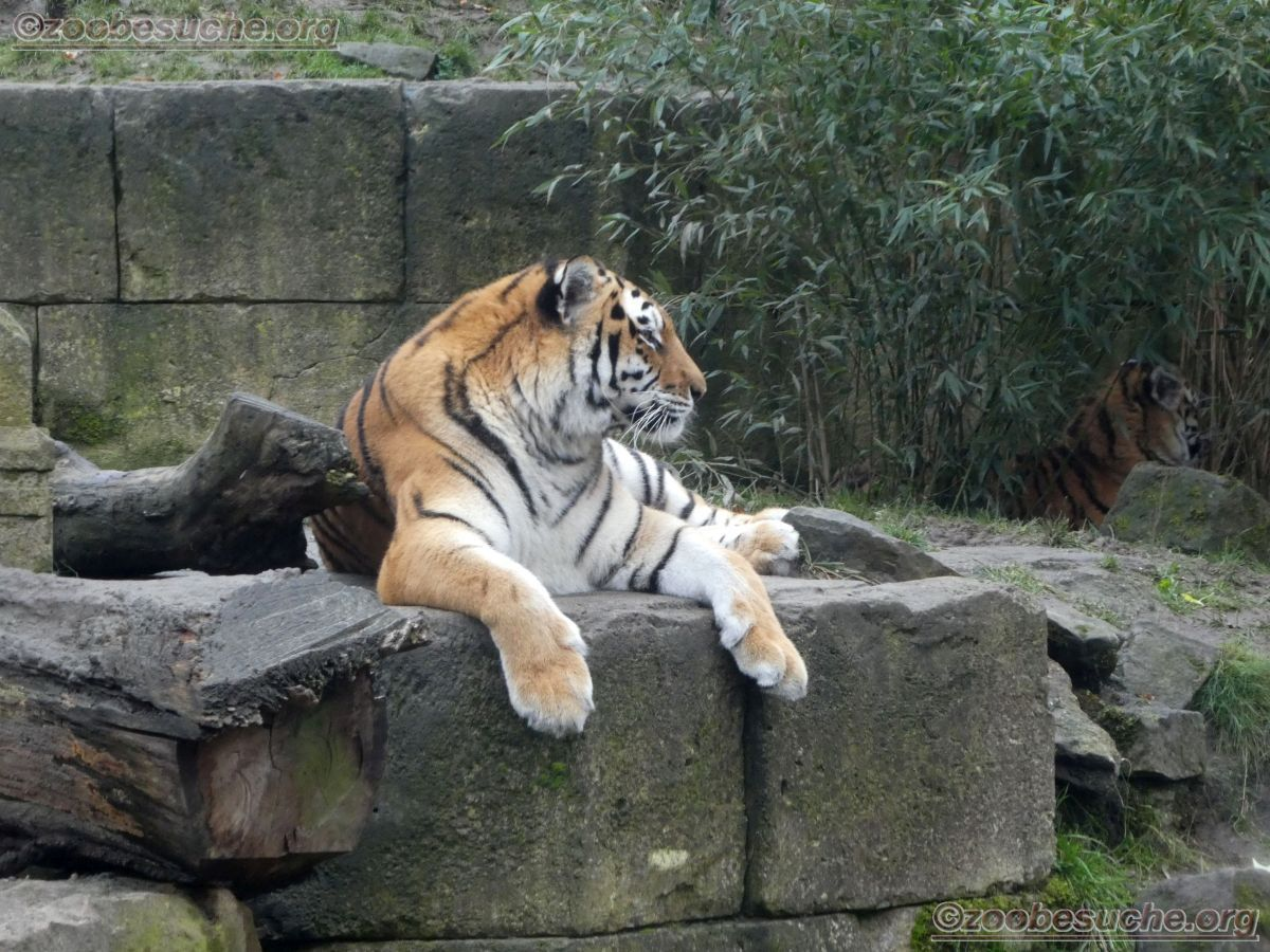 Tigerin Alexa  (1)