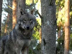 Europäischer Wolf  (2)