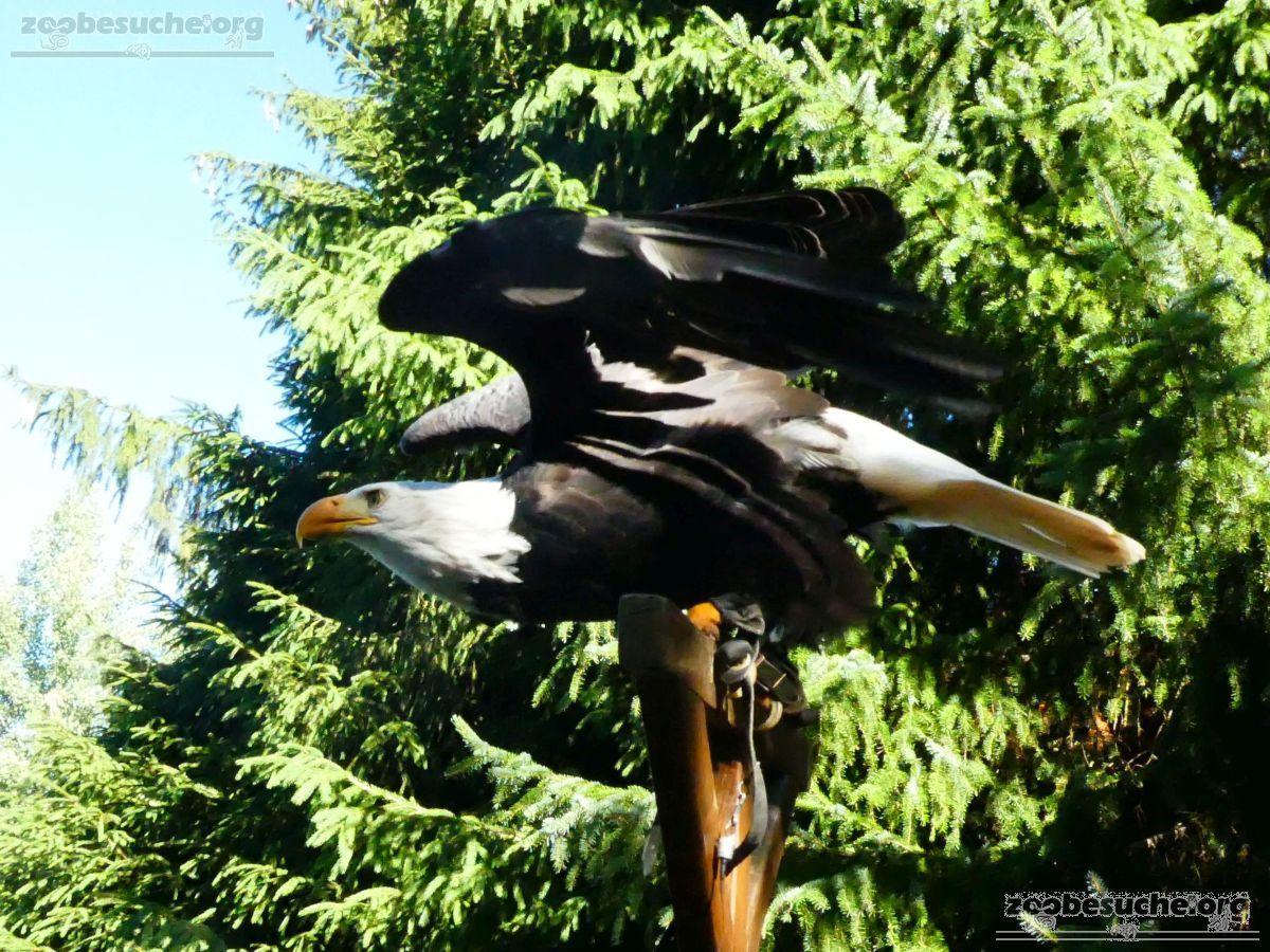 Weißkopfseeadler  (18)