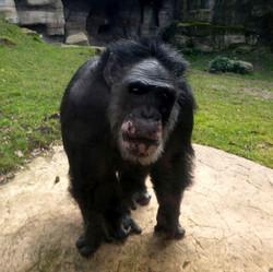 Schimpanse Max