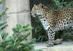 Leopardin Cleo  (4)