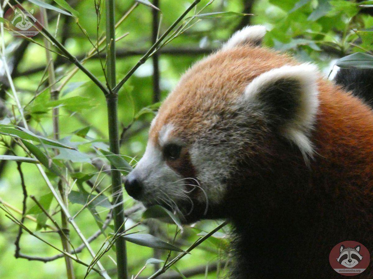 Roter Panda  (14)