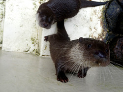 Otter  (4)