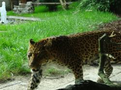 Leopard  (6)