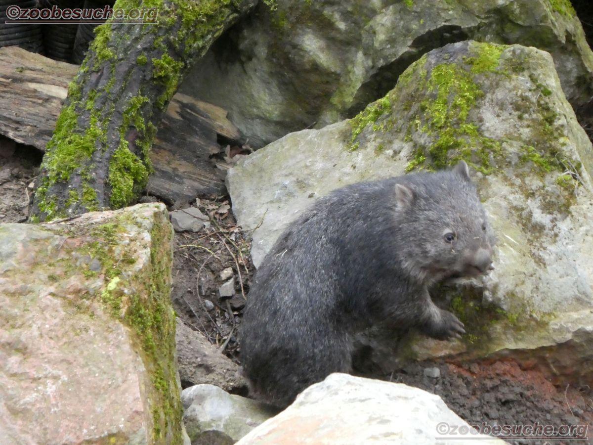 Wombat Maja  (12)
