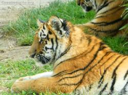 Tigerjungtiere  (29)