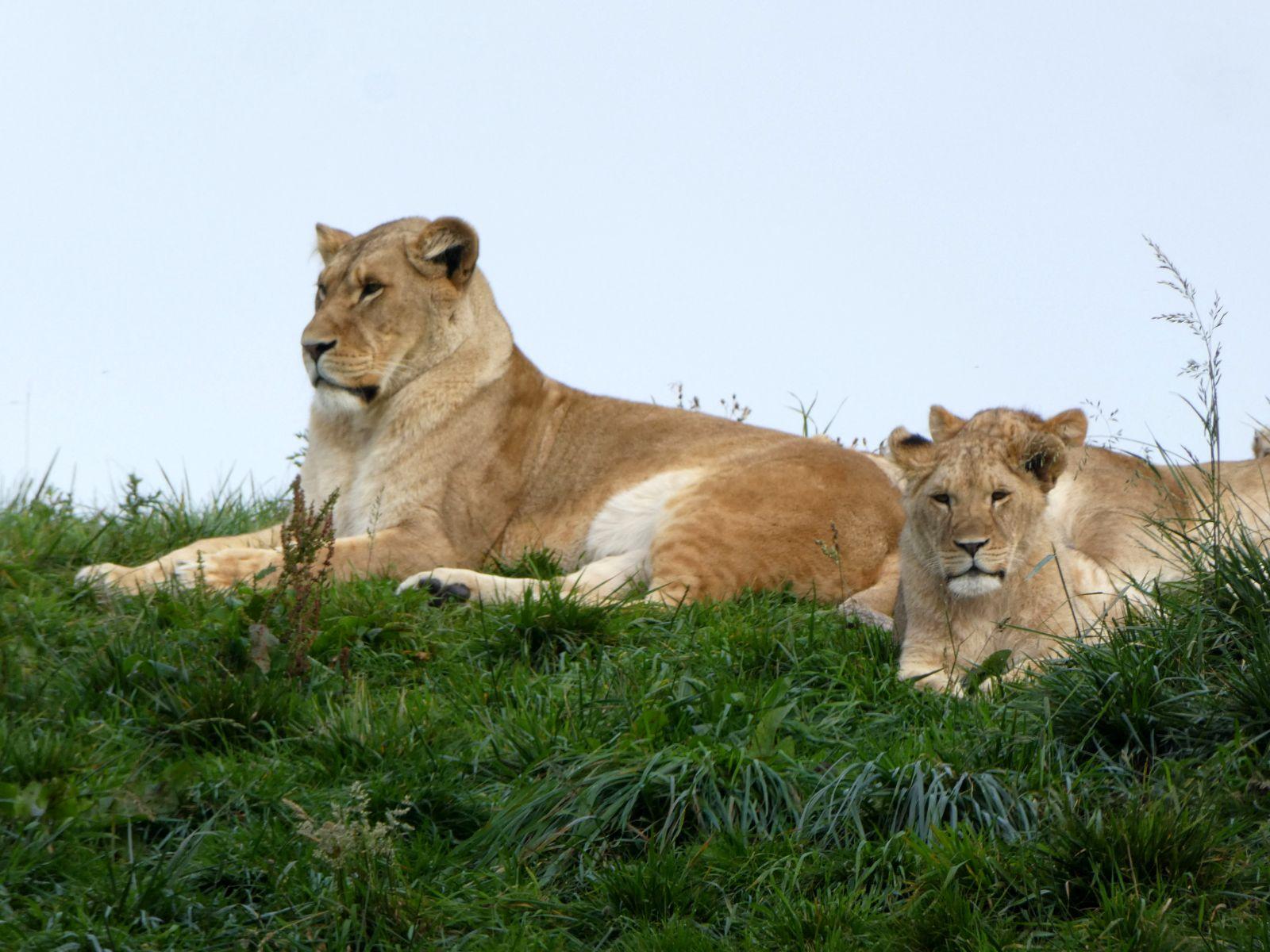 Löwen  (2)