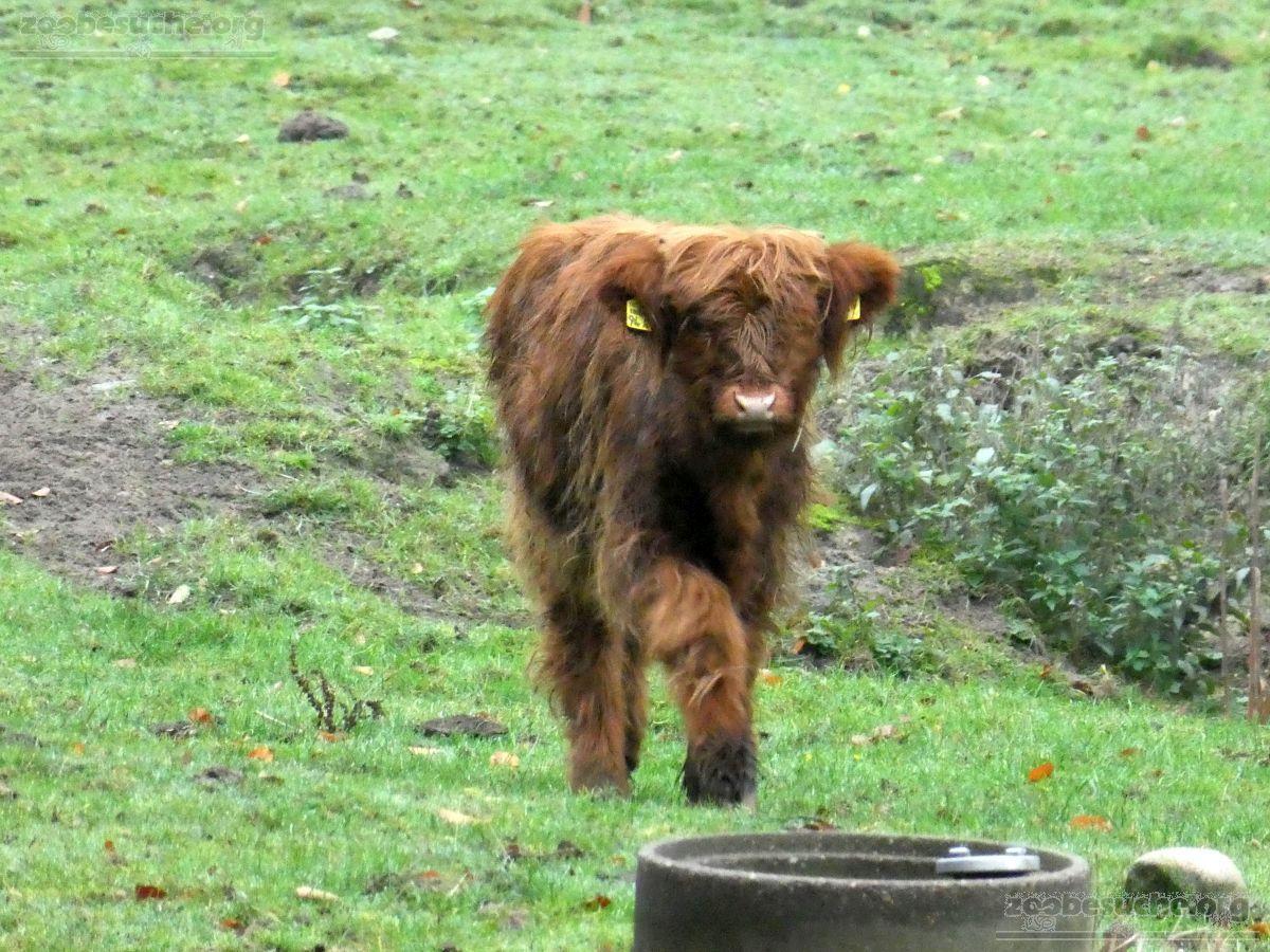 Highland Rind  (4)