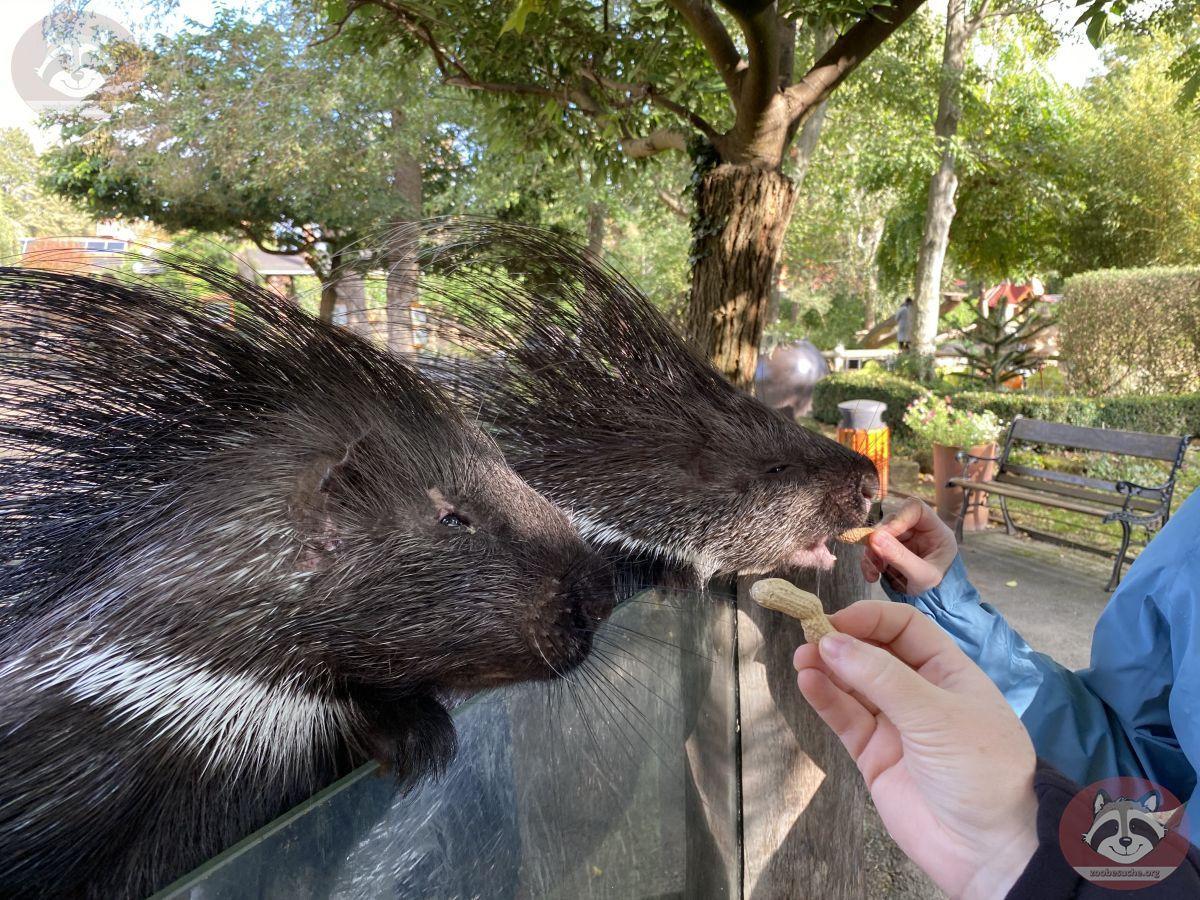 Stachelschwein (9)