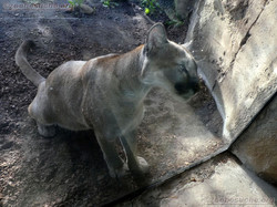 Puma  (9)