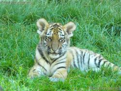 Tiger Jungtier (10)