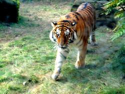 Tiger Aljosha  (1)